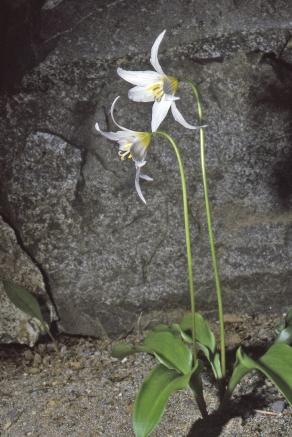 Erythronium elegans, garden, from seed